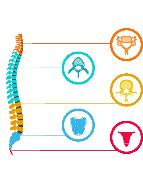 details colonne vertebrale